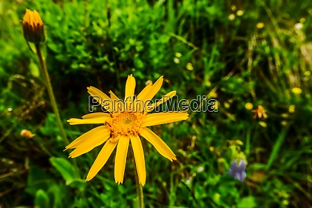 frische orange blume arnika in den