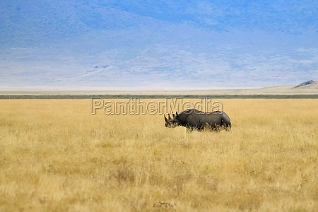 schwarzes nashorn auf dem ngorongoro conservation