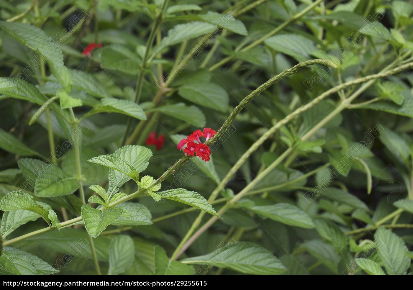 changeable, velvetberry, plants - 29255615