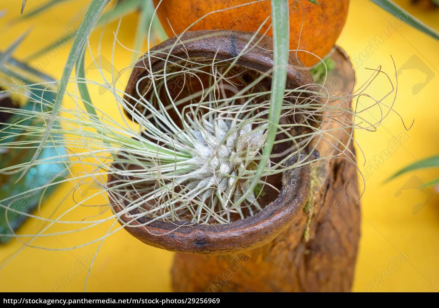 tillandsia, plants - 29256969