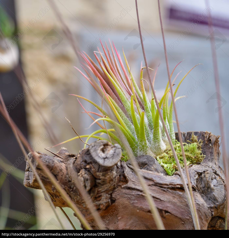 tillandsia, plants - 29256970