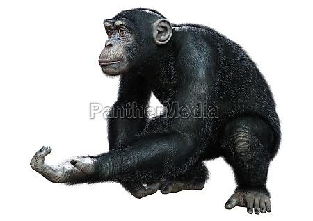 3d rendering schimpanse auf weiss