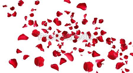 rote rosenblaetter isoliert
