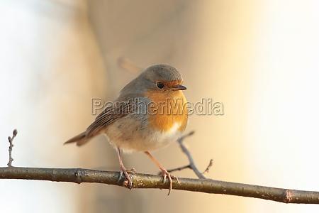 vogel robin birdie europaeisch natur singvogel