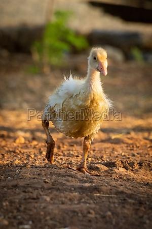 gosling geht um stift heben rechten