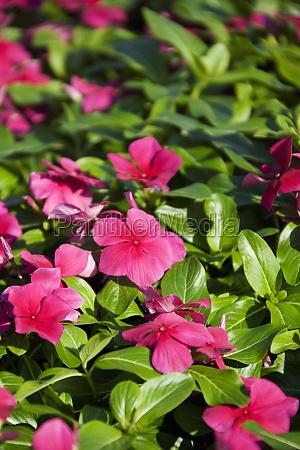 close_up, of, pink, impatiens, flowers, impatiens - 29350713
