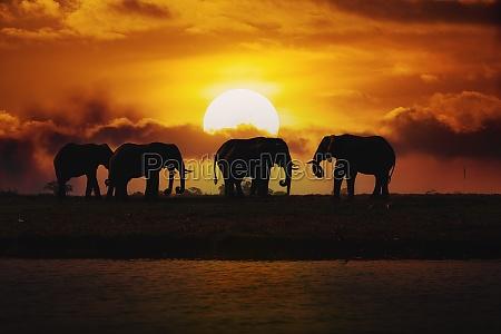 abendsilhouette ueber sonnenuntergang des afrikanischen elefanten