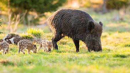 erwachsene wildschweine mit ferkeln die im