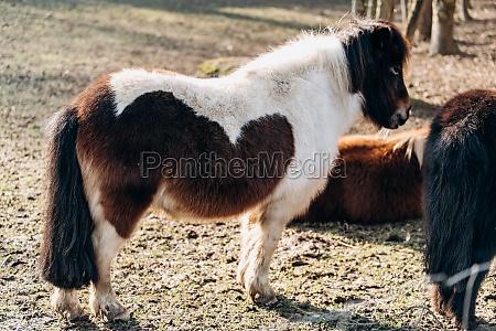 shetland pony weidet auf einer gruenen