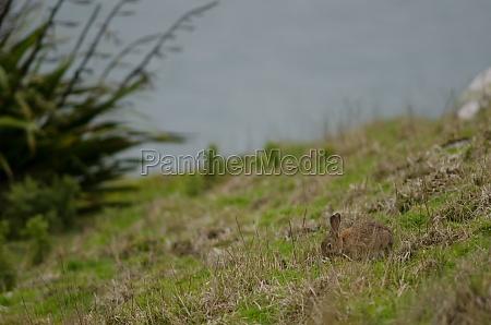 europaeische kaninchenweide