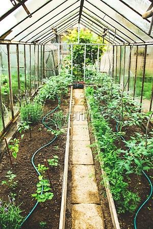 kleines, glasgewächshaus, mit, tomatenpflanzen, und, bewässerungssystem - 29421746