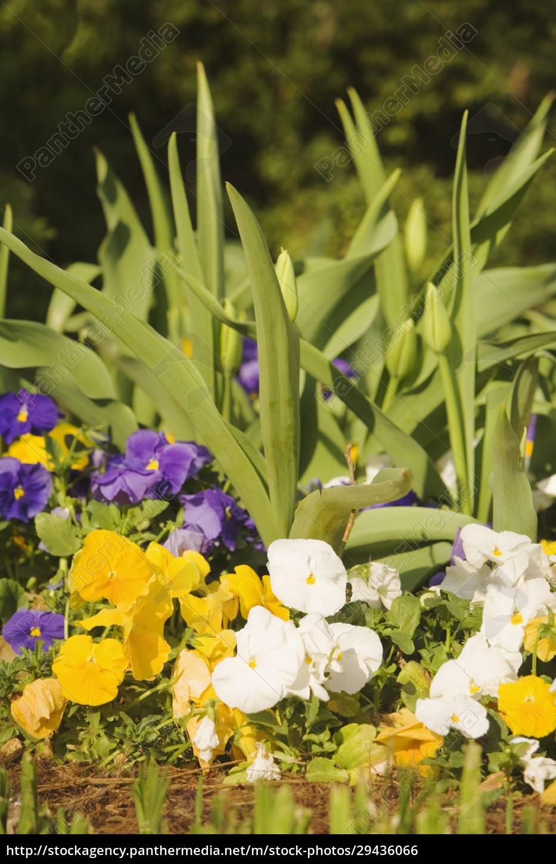 nahaufnahme, blühender, pflanzen - 29436066
