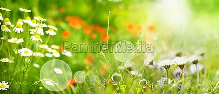 sonnige fruehlingswiese mit gaensebluemchen