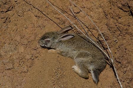 kranke europaeische kaninchen