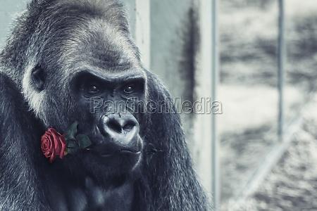 wilder gorilla mit rosenbluete im mund