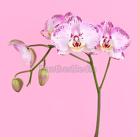 studio aufnahme von lila orchidee