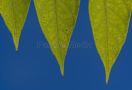 gruene blaetter gegen blauen himmel