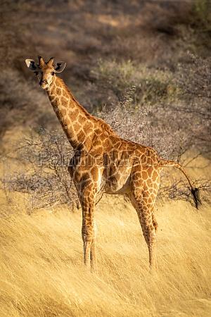suedliche giraffe steht augenkamera auf savanne