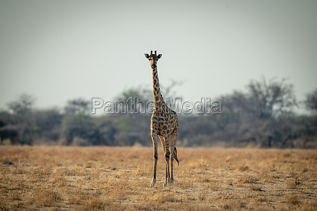 suedliche giraffe steht mit blick auf