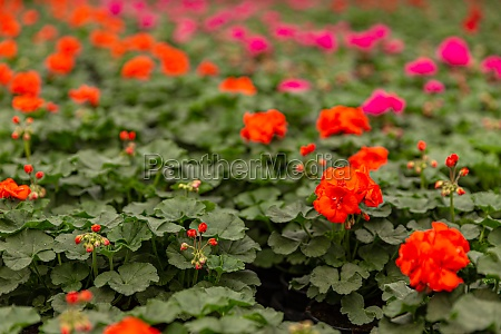 geranium, plants, in, a, greenhouse - 29615871