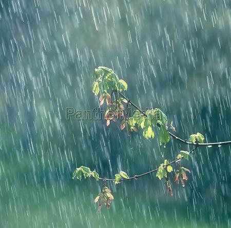 blattzweig im regen