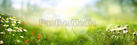 gaensebluemchen auf sonniger fruehlingswiese