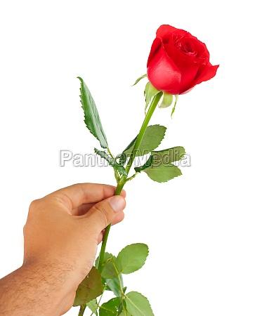 rote rose in einer maennlichen hand