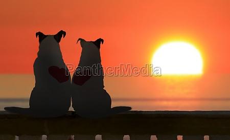 paar jack russell beobachten den sonnenuntergang