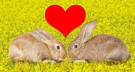 tow niedliche kaninchen in der liebe
