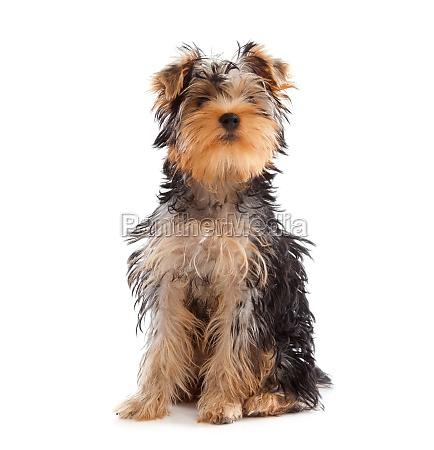 yorkshire terrier mit blick auf die