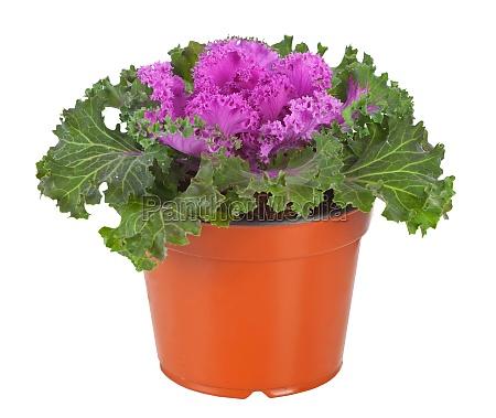 ornamental purple kale oder kohl