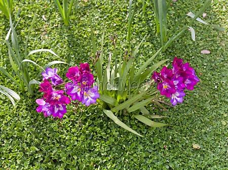 schoene lila freesie