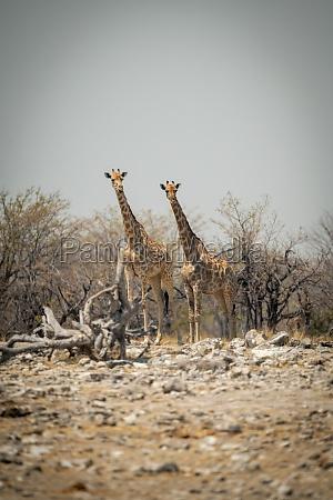 zwei suedliche giraffestehen an felsiger pfanne