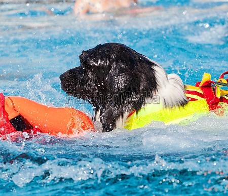 rettungsschwimmer hund im schwimmbad