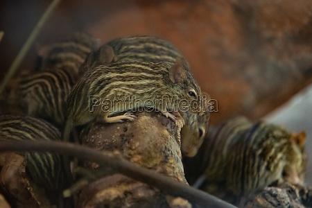 barbary gestreifte grasmaus auf dem baum