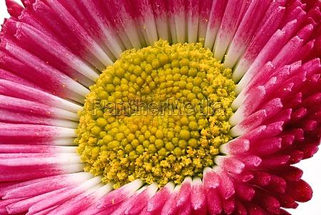 rasen daisy rot