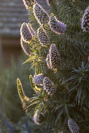 pflanze mit lila blueten im nachmittagssonnenlicht