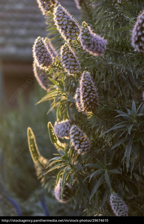 pflanze, mit, lila, blüten, im, nachmittagssonnenlicht - 29674610