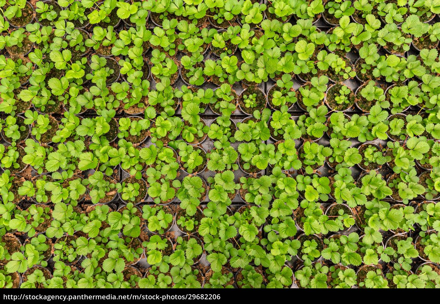 erdbeersämlinge, pflanzen - 29682206