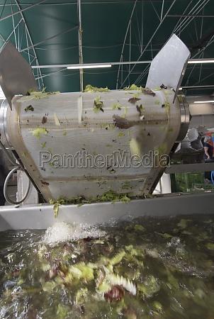 frisch geernteter salat wird gewaschen