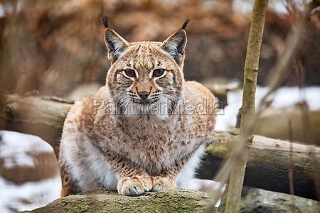 lynx portrait im herbst