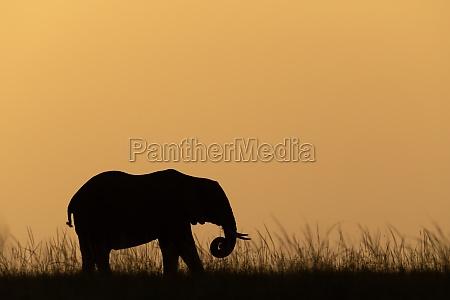 afrikanische busch elefant spulen stamm bei