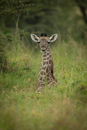 baby masai giraffe liegt im langen