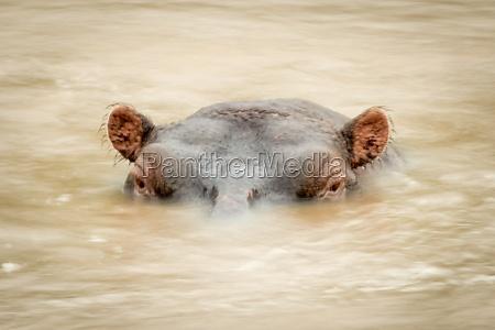 hippokopf umgeben von verschwommenem flusswasser