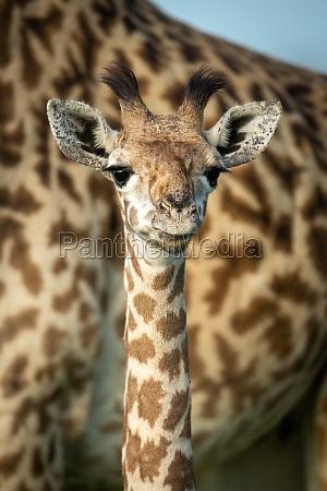 nahaufnahme der jungen masai giraffe von