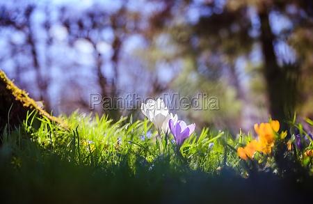 fruehling fruehlingsblumen im sonnenlicht natur im