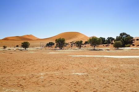duenen mit akazienbaeumen in der namib