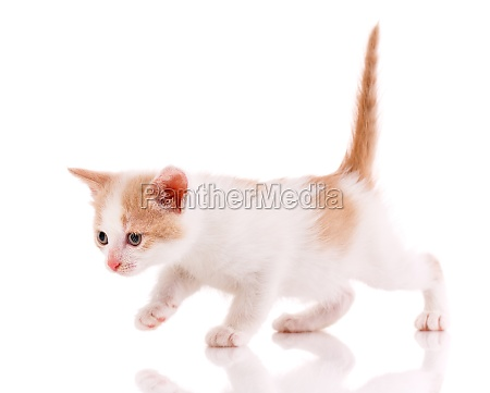 bright, kitten, with, a, raised, red - 29731644