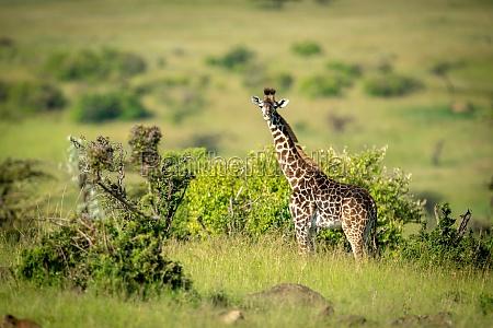 masai giraffe steht im profil drehenden