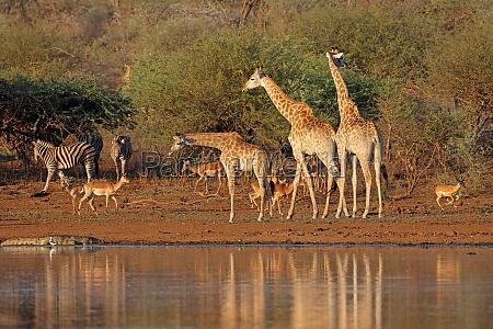 giraffen am wasserloch krueger nationalpark